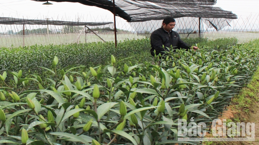 Cung cấp khoảng 70 vạn cành ly cho thị trường dịp Tết